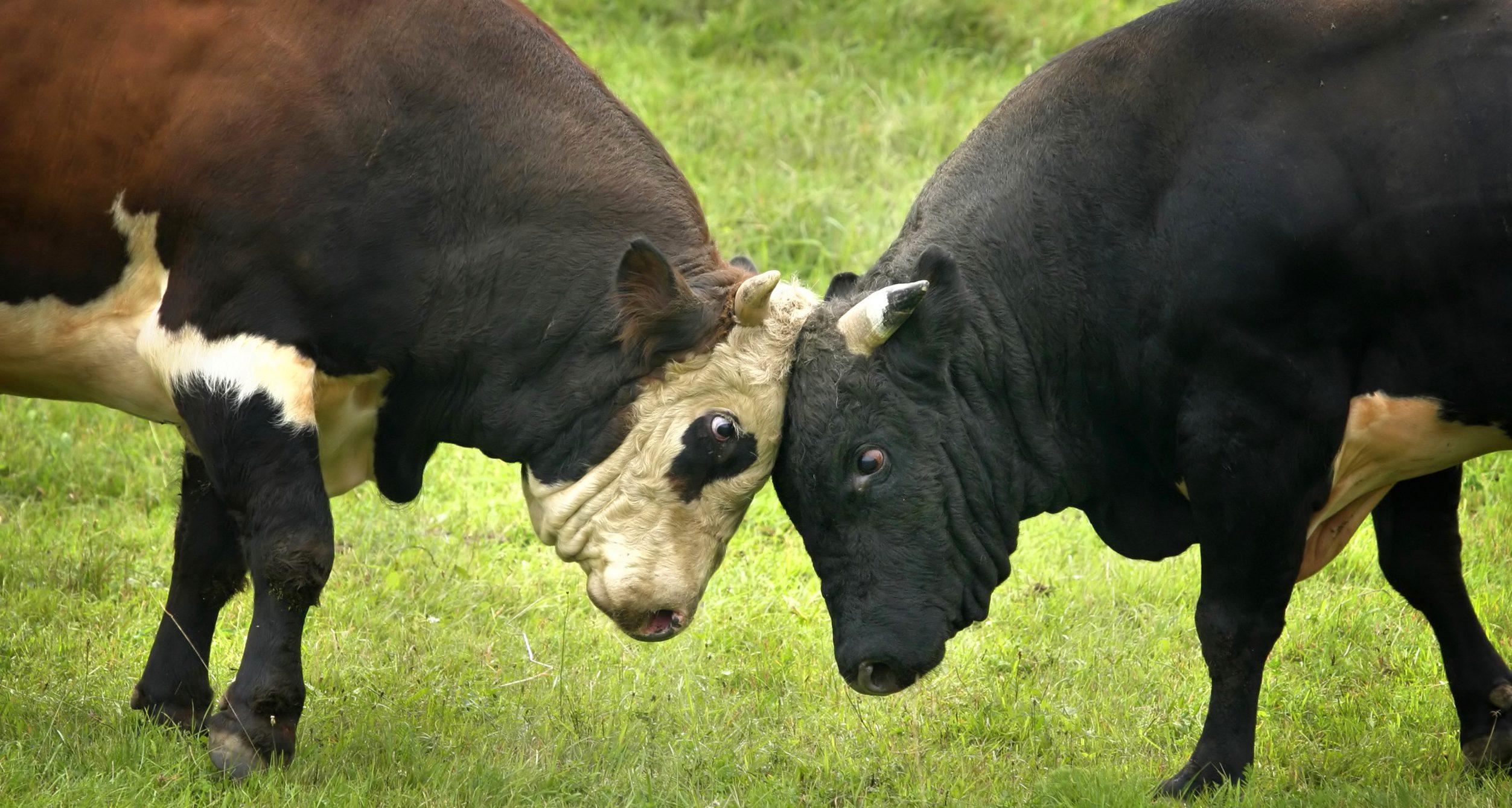 duel de taureaux
